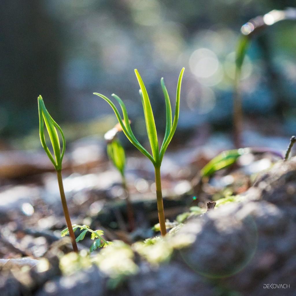 Mlada biljka u krupnom planu širi svoje listove ka svetlu