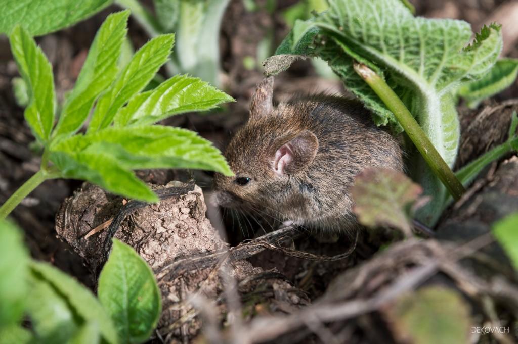 Poljski miš među grančicama i zelenim biljaka