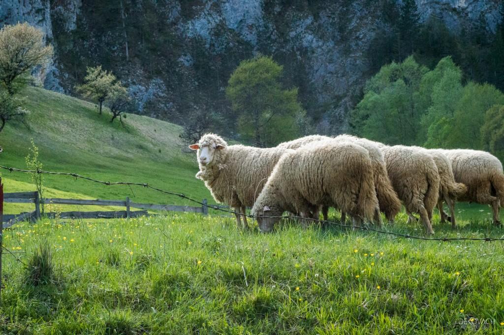 Stado ovaca na livadi blizu Zaovinskog jezera